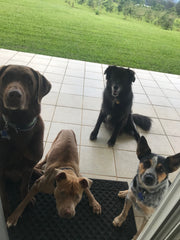 "alt=""Four dogs waiting for snacks living it up at Hog Heaven Coffee Farm"""
