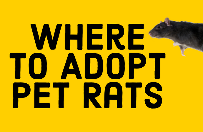 Where To Adopt Pet Rats