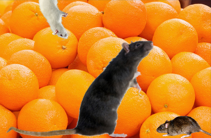 Why Male Rats Cannot Have Oranges