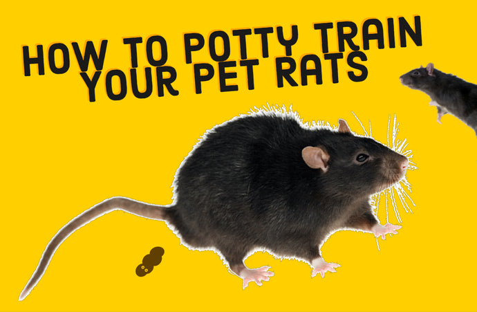 How to Potty Train Rats