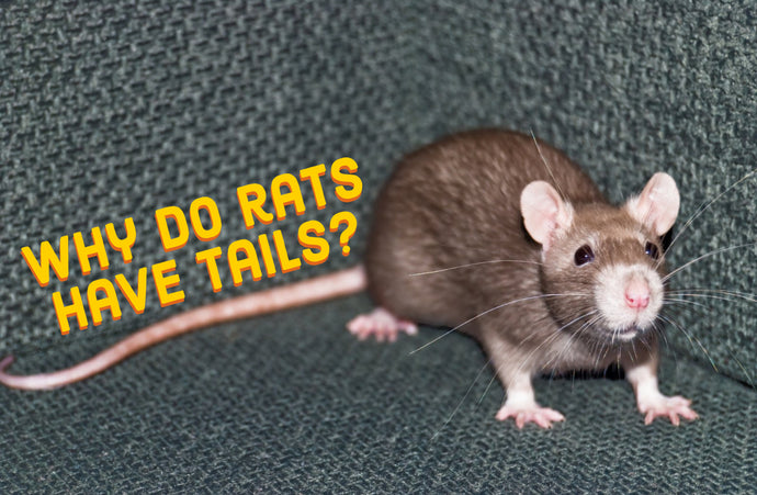 Why do rats have tails?