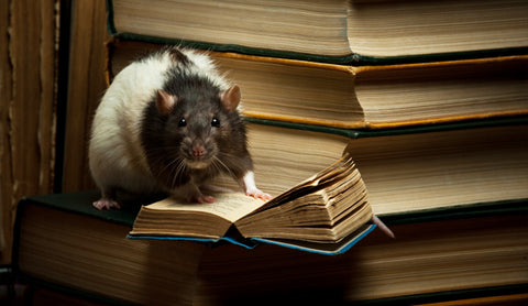 Bobby Secrest 10 Reasons Why You Should Get a Pet Rat ...