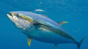 Ahi Tuna's Major Three Health Benefits