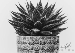 Aloe Succulent A0 (84.1Cm X 118.9Cm) / Black & White Photographic