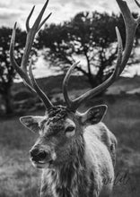 Load image into Gallery viewer, Majestic Deer A1 (59.4Cm X 84.1Cm) / Black & White Photographic