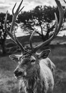 Majestic Deer A1 (59.4Cm X 84.1Cm) / Black & White Photographic