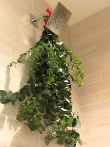 Fresh Eucalyptus Shower Plant - Fresh from Farm