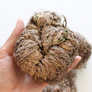 Rose of Jericho. Resurrection Plant. Prosperity. Good Fortune. Protection. - Lesley Saligoe Botanicals