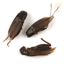 Edible Field Crickets (Black Crickets) - The Baked Potato Store