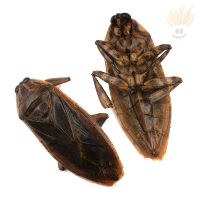 Edible Giant Water Bugs Novelty Snacks