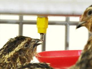 Quail Drinking From Drinkers - Hatching Time