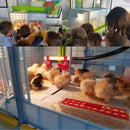 Chicks in Brooder - Cimuka