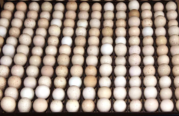Egg Setter Tray - Partridge - 154 Eggs - Hatching Time
