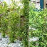 Fern Pine - C&J Gardening Center