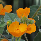 Palmer's Indian Mallow - C&J Gardening Center