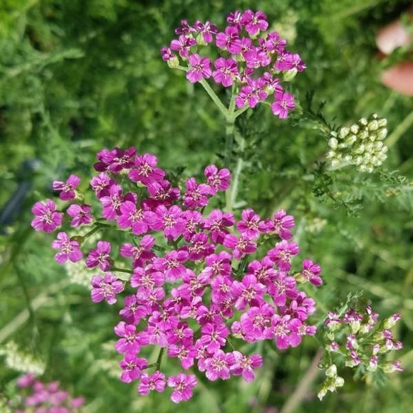 Common Yarrow - Cerise - C&J Gardening Center