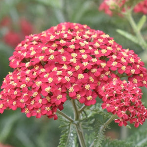 Common Yarrow - Pastel Red