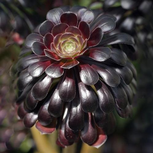 Black Rose Aeonium - C&J Gardening Center