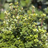 African Boxwood - C&J Gardening Center