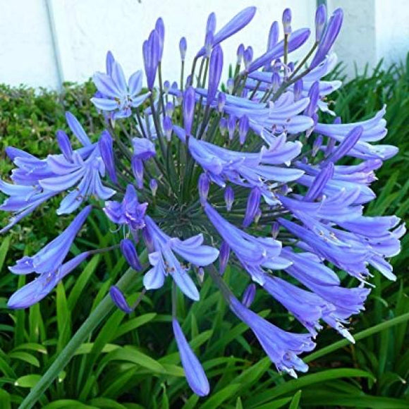 Blue Lily of the Nile - C&J Gardening Center