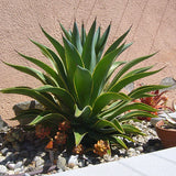 Smooth Agave - C&J Gardening Center