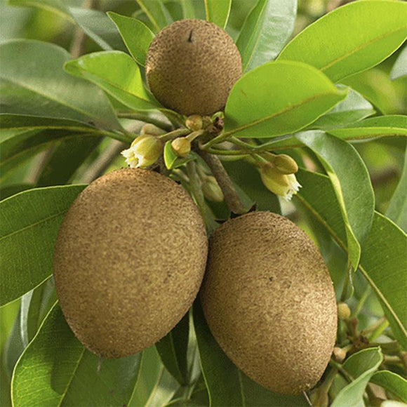 Alano Sapodilla - C&J Gardening Center
