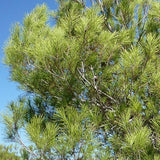 Aleppo Pine - C&J Gardening Center
