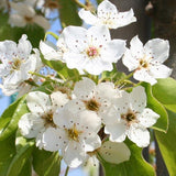 Aristocrat Flowering Pear - C&J Gardening Center