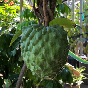 Atemoya Annona - C&J Gardening Center