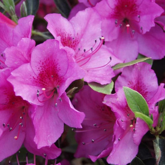 Purple Shade Azalea - C&J Gardening Center