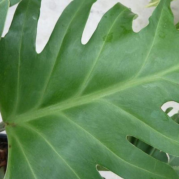 Big Leafed Philodendron