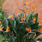 Bird of Paradise - C&J Gardening Center