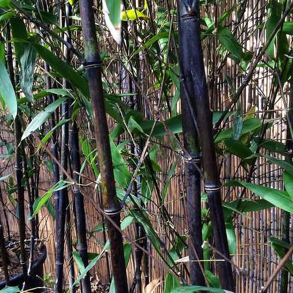 Black Bamboo - C&J Gardening Center