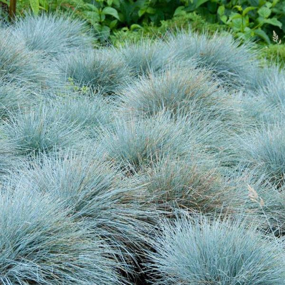 Blue Fescue - C&J Gardening Center