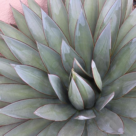 Blue Glow Agave - C&J Gardening Center