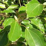 Camphor Tree - C&J Gardening Center