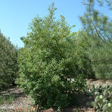 Catalina Cherry - C&J Gardening Center