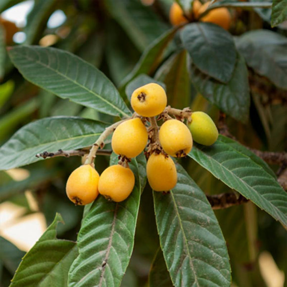 Champagne Loquat - C&J Gardening Center