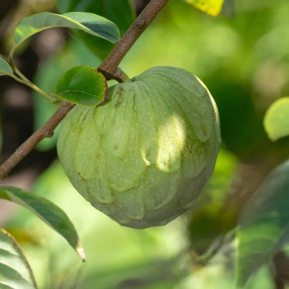 Cherimoya Honeyheart - C&J Gardening Center