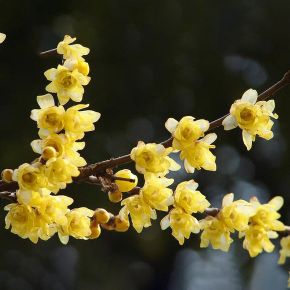 Wintersweet Chimonanthus - C&J Gardening Center