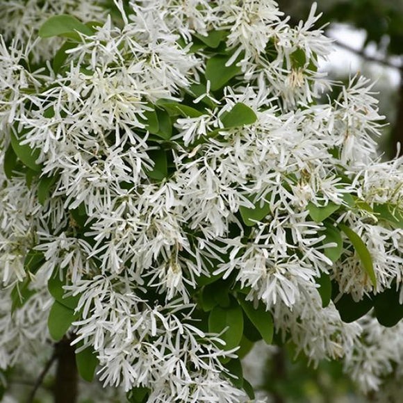 Chinese Fringe Tree