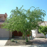 Chinese Evergreen Elm