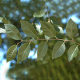 Chinese Evergreen Elm - C&J Gardening Center