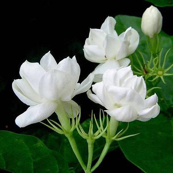 Arabian Jasmine - C&J Gardening Center