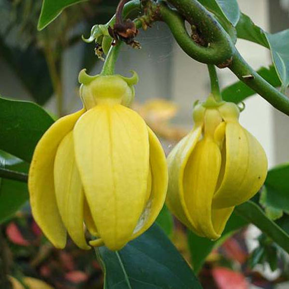 Ylang Ylang Vine - C&J Gardening Center