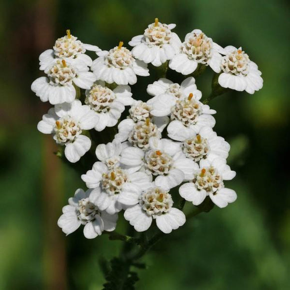 Common Yarrow - White - C&J Gardening Center