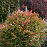 Gulf Stream Heavenly Bamboo - C&J Gardening Center