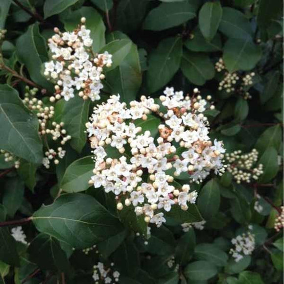 Compact Viburnum - C&J Gardening Center