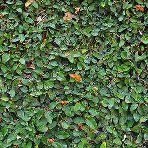 Creeping Fig - C&J Gardening Center