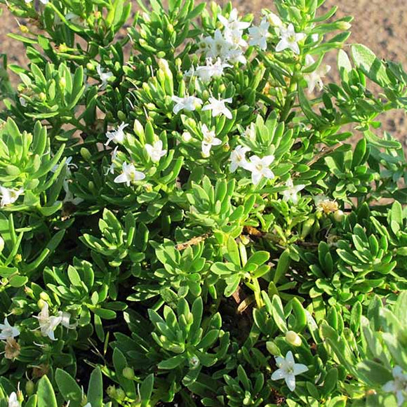 Myoporum Putah Creek - C&J Gardening Center